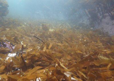 A kelp graveyard