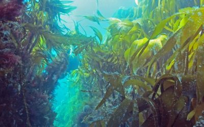 Will climate change affect Norwegian kelp forests in a positive way?