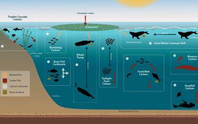 Marine life – deep sea heroes fighting climate change