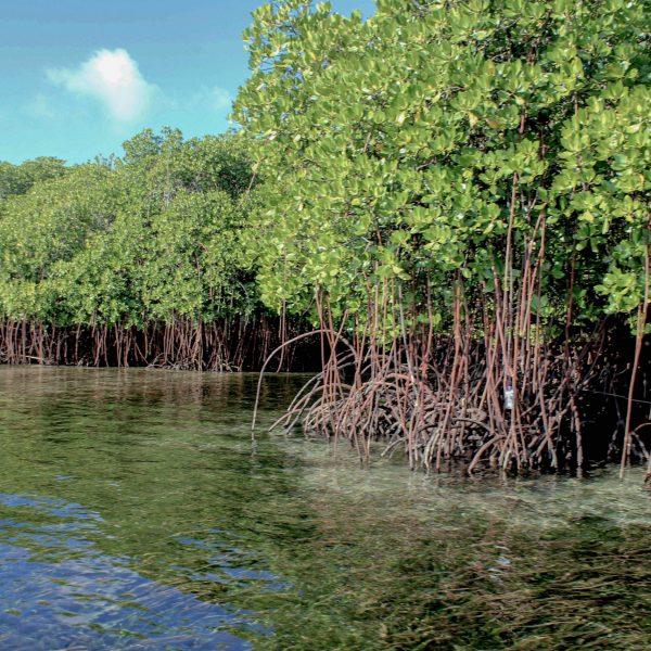 vibrant mangroves2